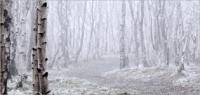 Birches 16
