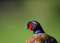 Dawn Pheasant
