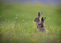 Hares Rabbiting