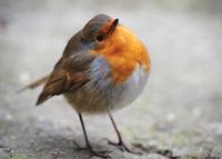 Robin Chubby Redbreast