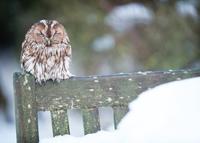 Sleeping Tawny Owl