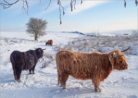 highland cattle snow curbar 1707GC